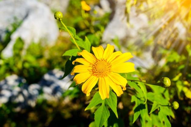 Hoa mang sắc vàng của nắng khoe sắc rực rỡ