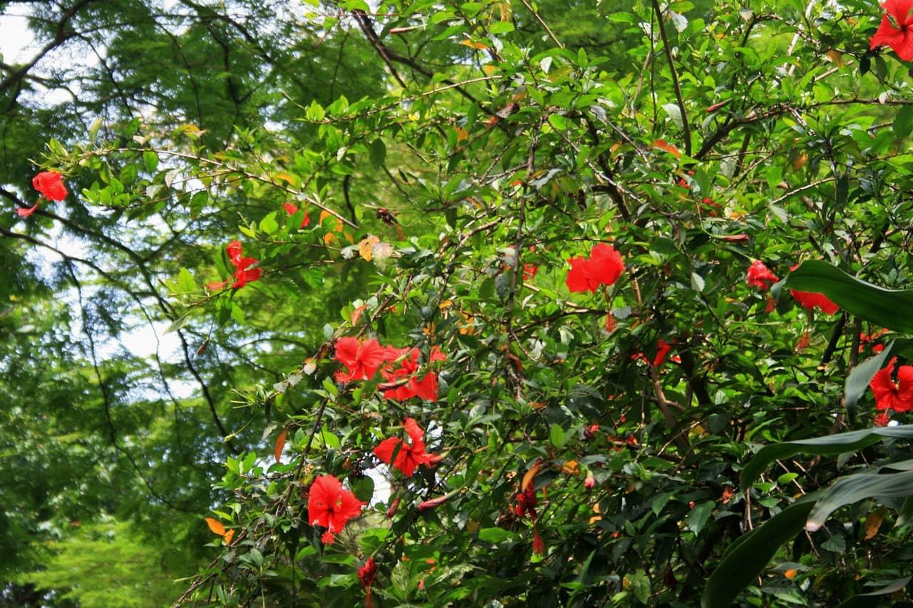 Ở Trung Quốc, hoa dâm bụt màu hồng là biểu tượng của sự kiêu kỳ và vẻ đẹp danh tiếng hay vinh danh những cá nhân lỗi lạc.