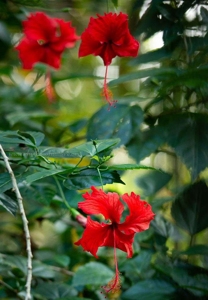 Tuổi trẻ, danh vọng và sắc đẹp rất tương đồng với hoa dâm bụt, đó là có tuổi thọ rất ngắn... Xem thêm