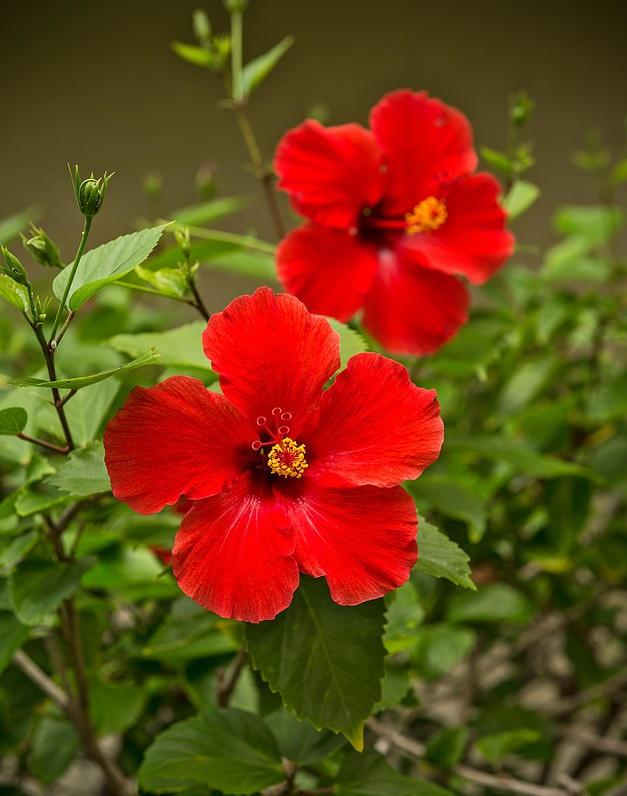 Ý nghĩa hoa dâm bụt vẻ đẹp của danh vọng và vinh quang
