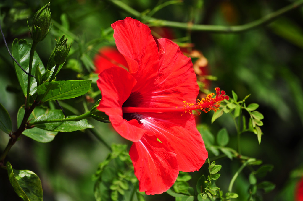 Hoa dâm bụt là hiện thân của sự nữ tính, sự hoàn hảo và sự thanh nhã.Tuy nhiên nó lại được coi là một loài hoa không cao sang...Xem thêm