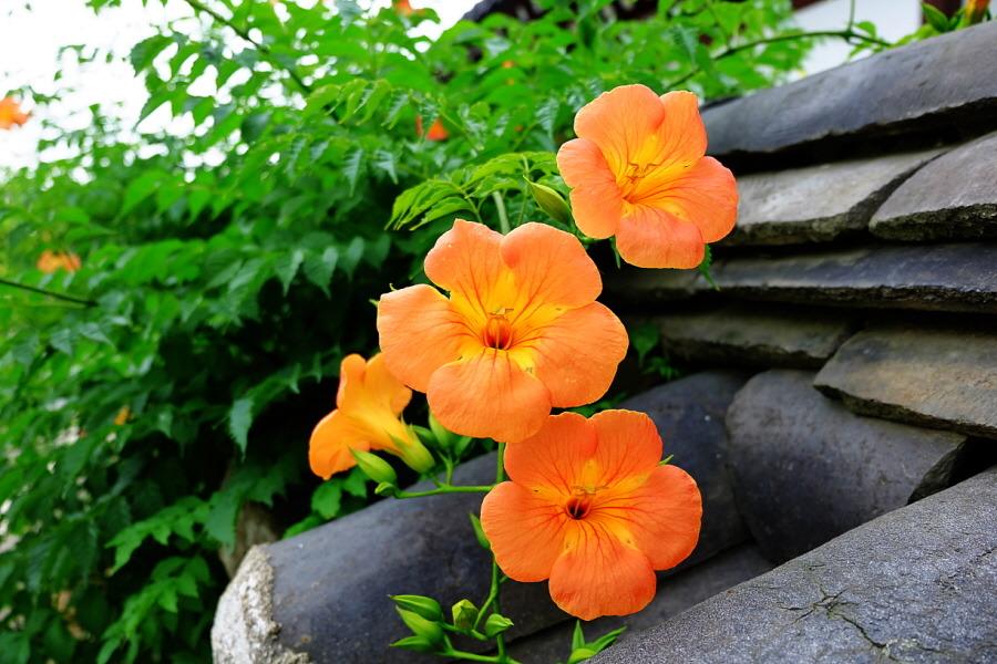 Hoa đăng tiêu là 1 trong số 25 vị trong thang thuốc chống thụ thai.