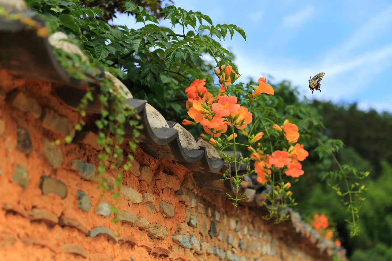 Ý nghĩa hoa đăng tiêu mang sắc vàng lung linh trong gió