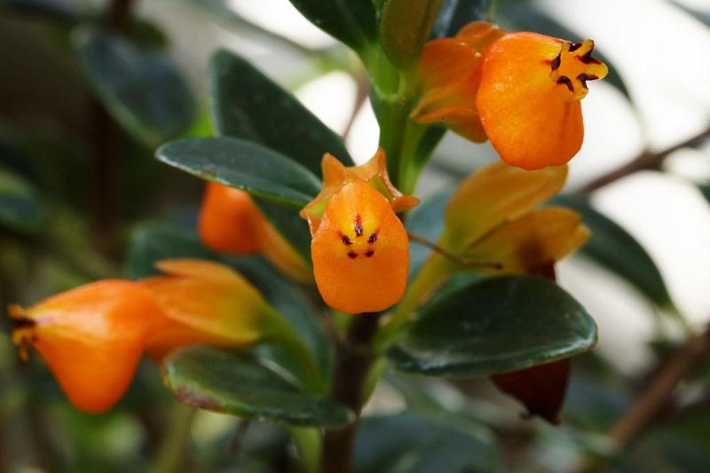 Hoa cá vàng sắc cam rực rỡ treo giỏ làm đẹp mọi không gian