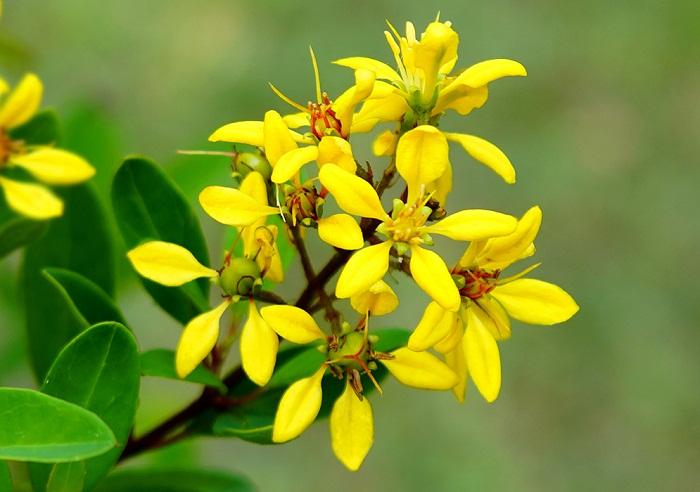 Kim đồng vàng hoa leo sắc vàng rực rỡ