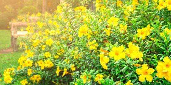 Hoa leo hoàng thảo sắc vàng rực rỡ