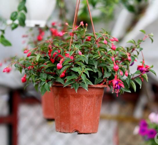 Mãn nhãn với hoa lồng đèn treo chậu sắc đỏ quyến rũ