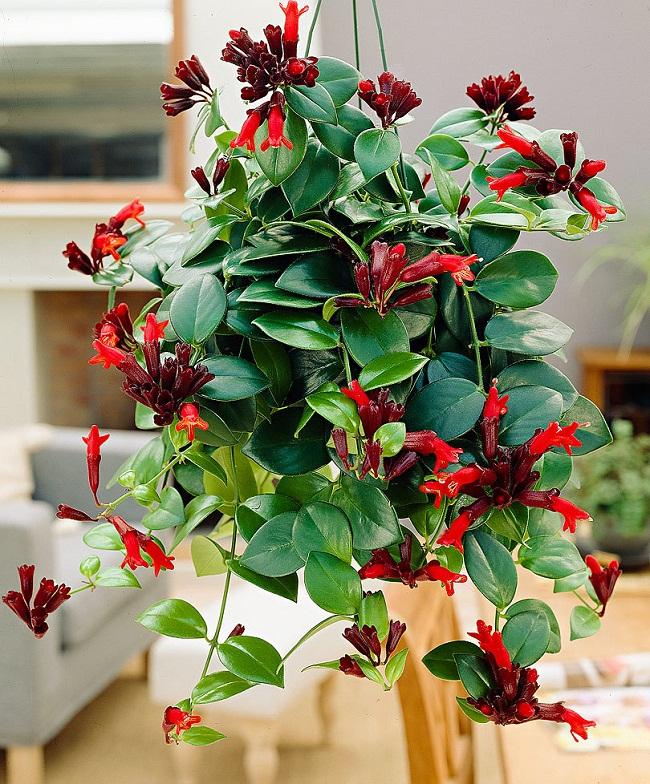 Hoa son môi - Hoa treo chậu đẹp quyến rũ