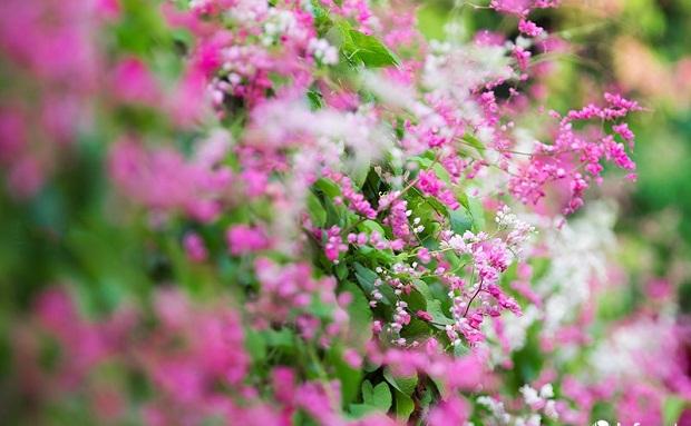 Hoa tigon leo giàn khoe sắc hồng tươi thắm