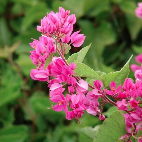 Hoa tigon khoe sắc hồng tươi thắm