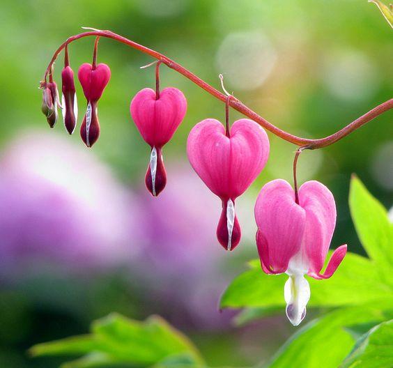 Hoa tigon đẹp khoe sắc hồng tươi thắm