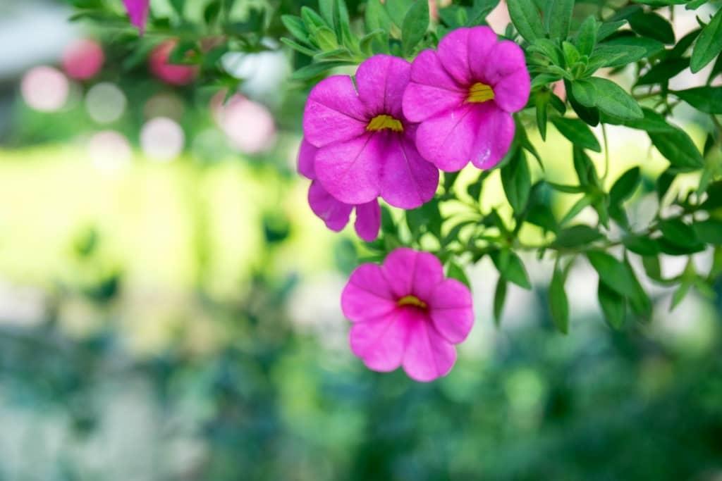 Ban công đẹp với hoa triệu chuông rực rỡ