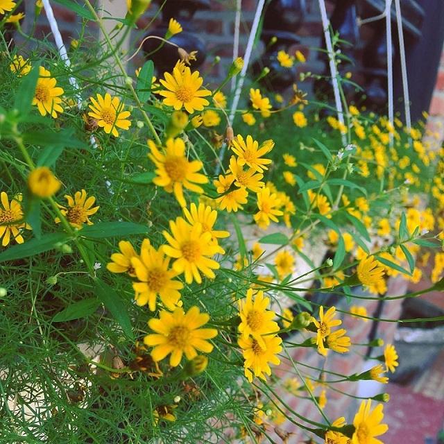 8 loại hoa trồng trước nhà đảm bảo hút tiền cho gia chủ