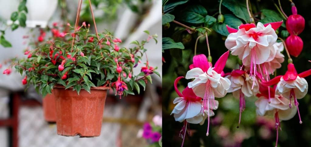 8 loại hoa trồng trước nhà hợp phong thủy