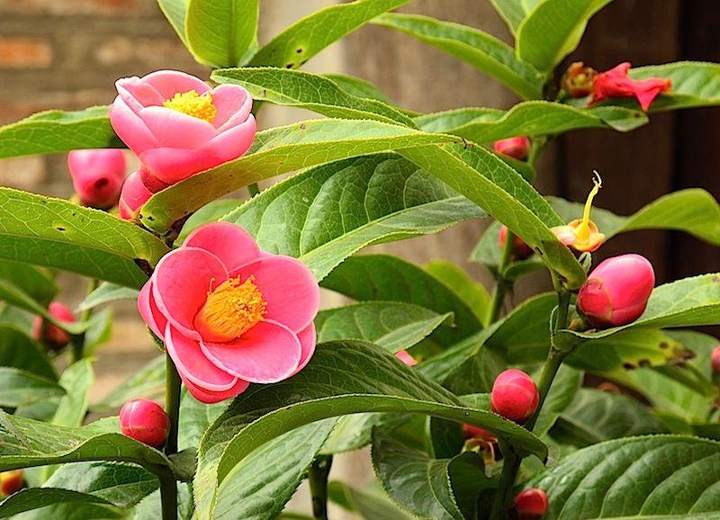 Bí kíp cắt tỉa cây hoa hải đường giúp cây nuôi dinh dưỡng cho nụ ra hoa
