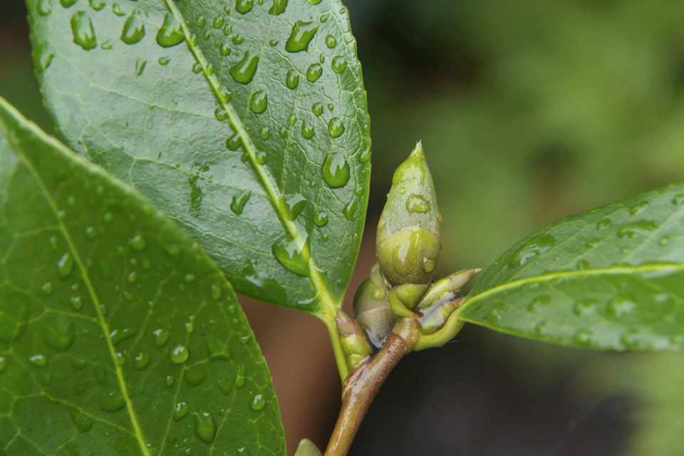 Thực hiện tỉa bỏ các nụ nhỏ bé sát cuống với các nụ khác. Giữ lại tối đa 2 – 3 nụ mập hơn trên 1 cành cành hoa