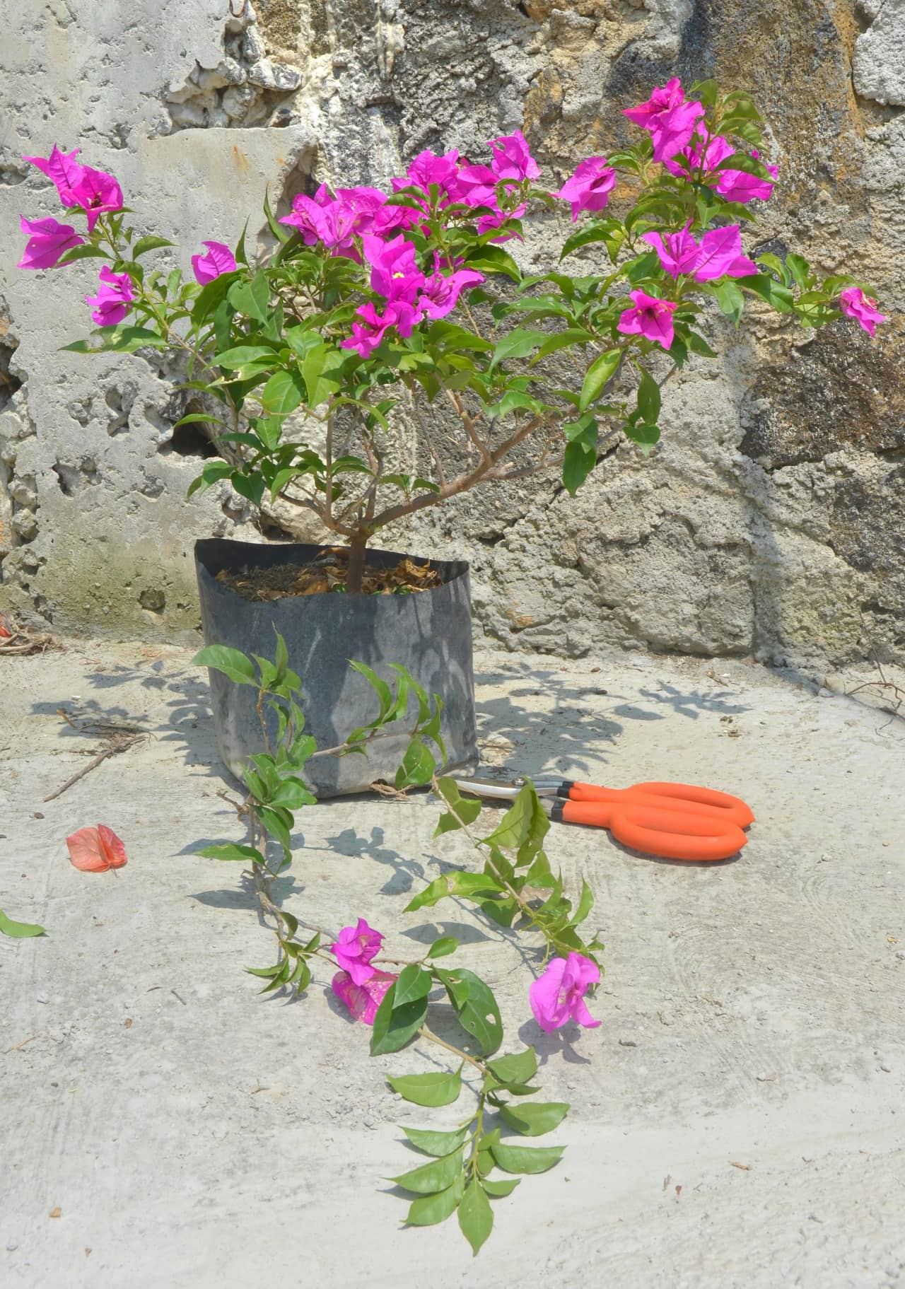 Cách trồng hoa giấy trong chậu cho hoa nở quanh năm