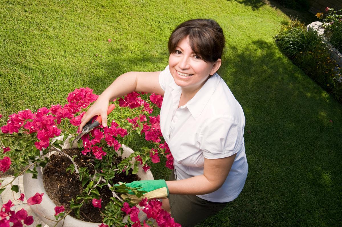 Mách bạn bí kíp cắt tỉa cây hoa giấy cho hoa nở quanh năm