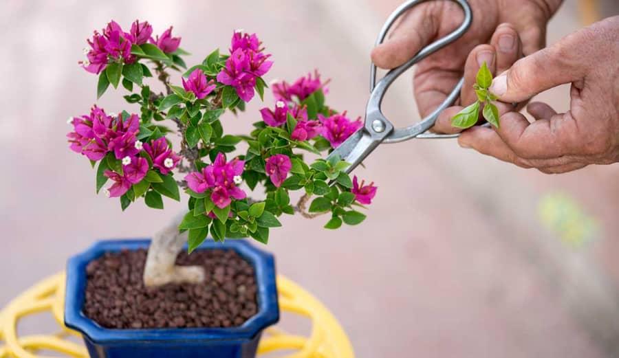 Tạo hình bonsai cây hoa giấy phát triển tốt