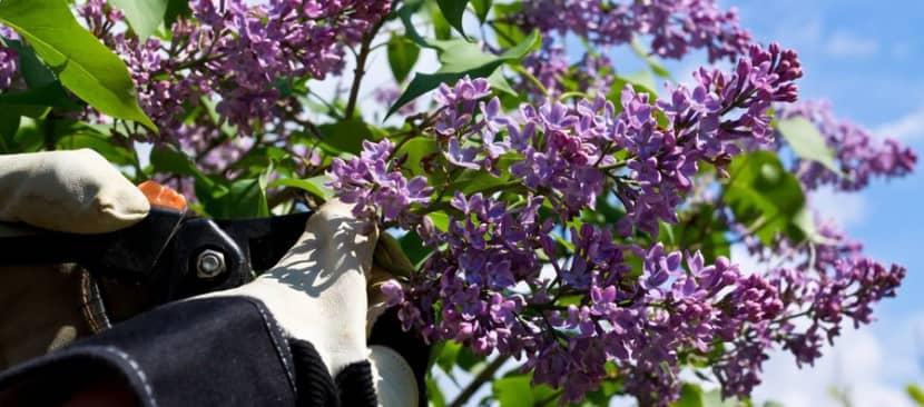 Tuyệt chiêu cắt tỉa cây hoa tử đinh hương nhanh ra hoa nở đẹp