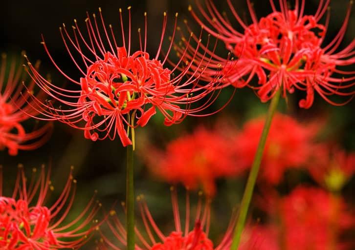 Khám phá tất cả những điều cần biết về hoa bỉ ngạn