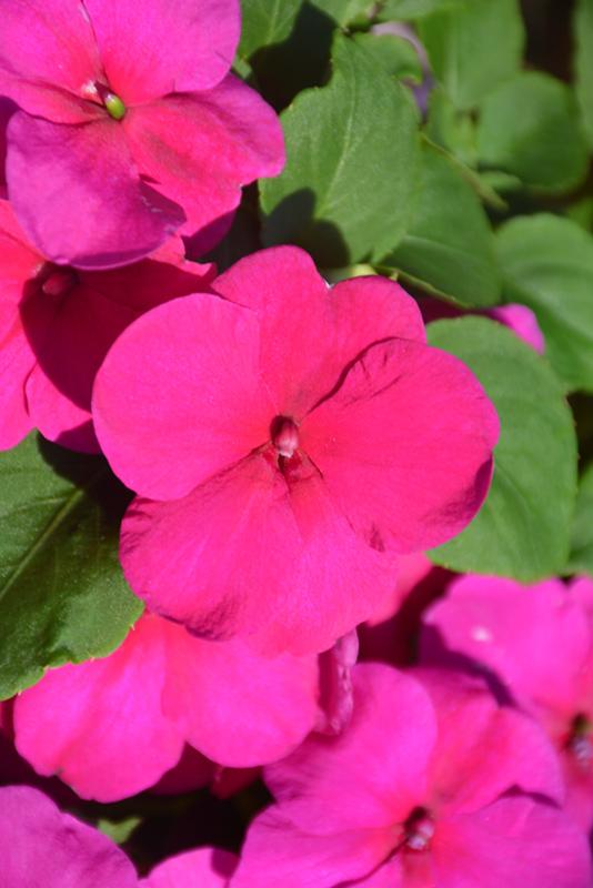 Ngọc thảo đơn:hoa đơn có từ 4-6 cánh hình tim. Hoa xếp trên mặt phẳng với rìa cánh dập dờn lượn sóng