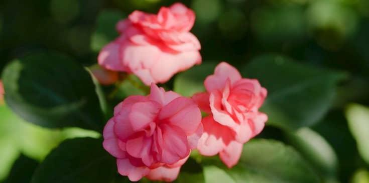 Nguồn gốc, đặc điểm hoa mai địa thảo (ngọc thảo) Impatiens walleriana