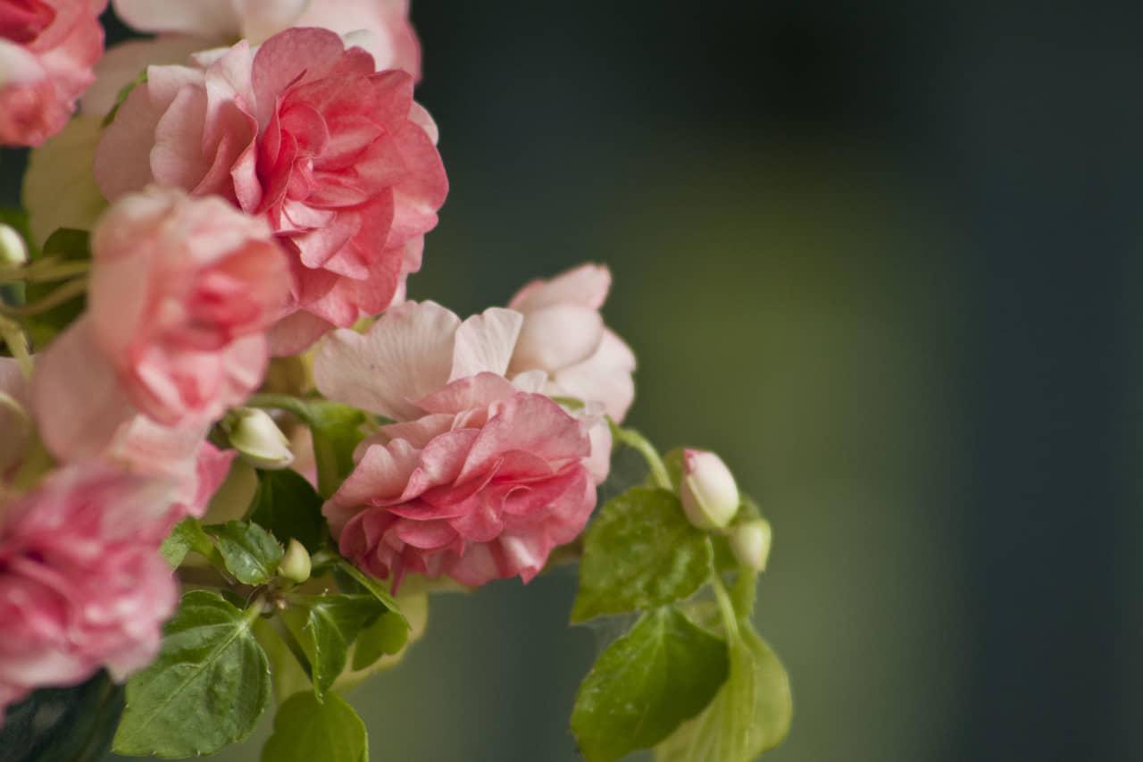 Hoa ngọc thảo kép Impatiens walleriana