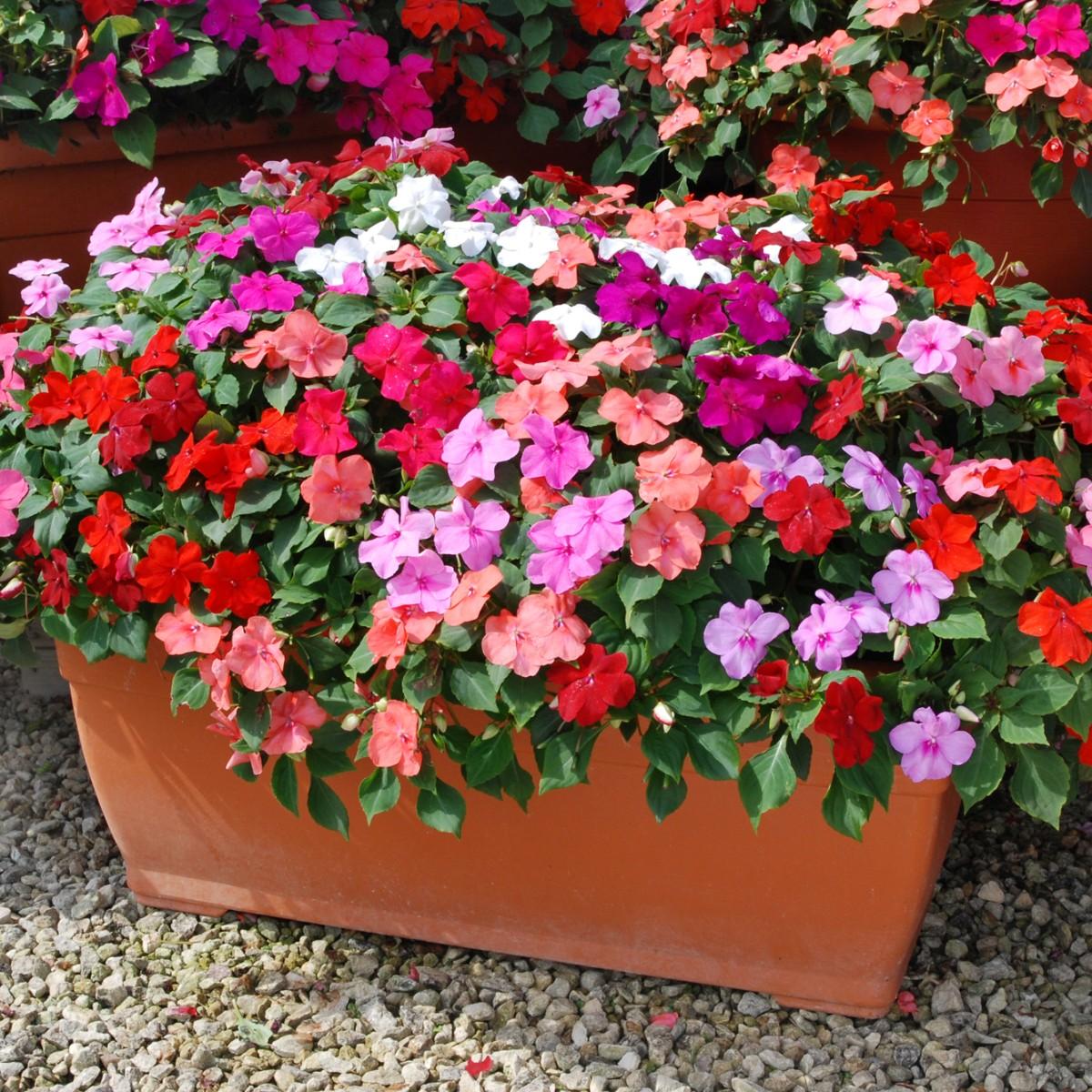 Ngọc thảo cho hoa nhiều màu sắc rực rỡ từ trắng, hồng, đỏ, cam,… đến phối trộn kết hợp nhiều màu khác nhau.