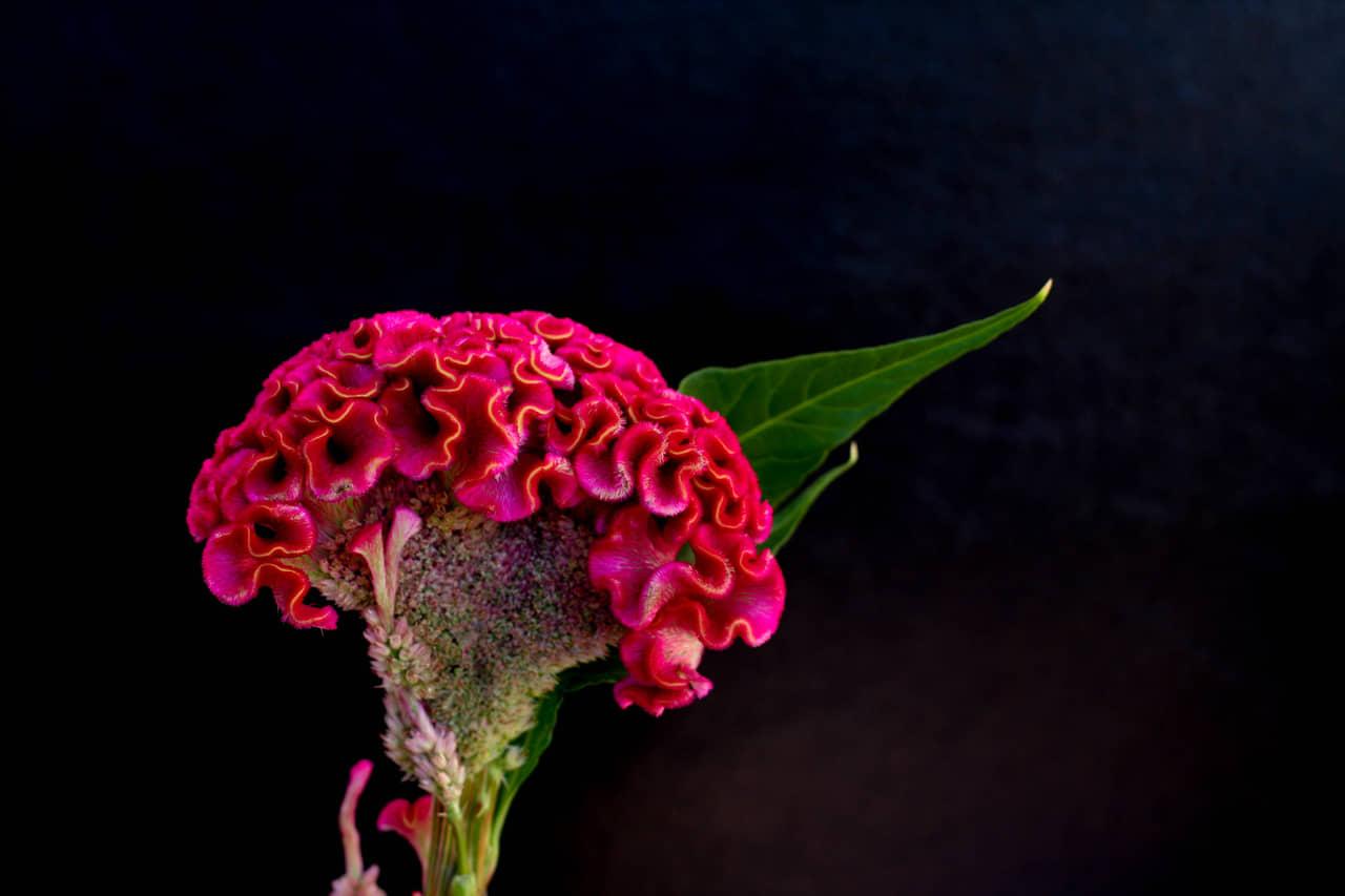 Cụm hoa mào gà nhô lên nhăn nheo hay có hình nón ngược thuôn dài với kích thước 5 – 13 cm.