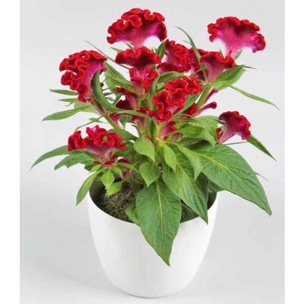 Có thể làm cây sân vườn trồng trong các bồn hoa, vườn hoa