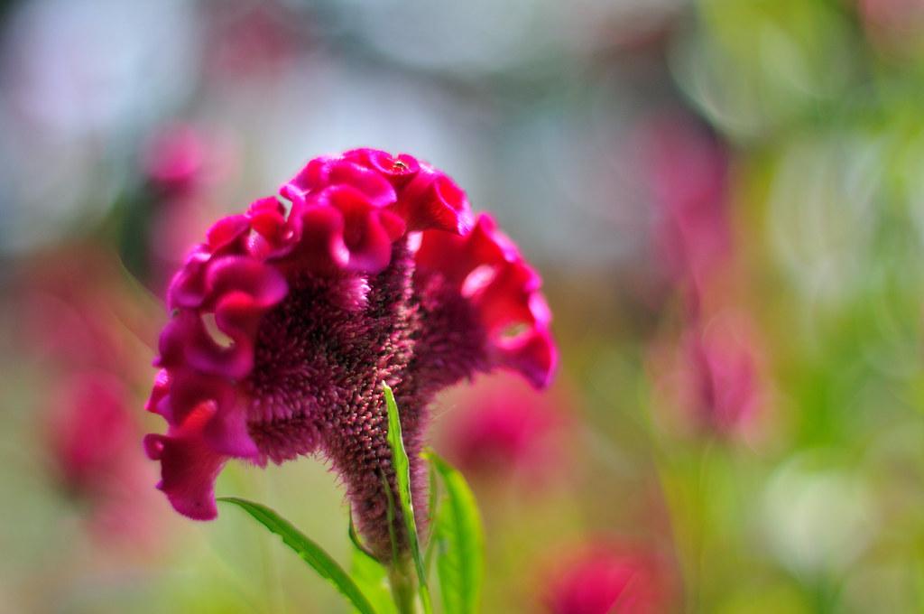 Ngỡ ngàng trước vẻ đẹp mới lạ của hoa mào gà Celosia cristata;