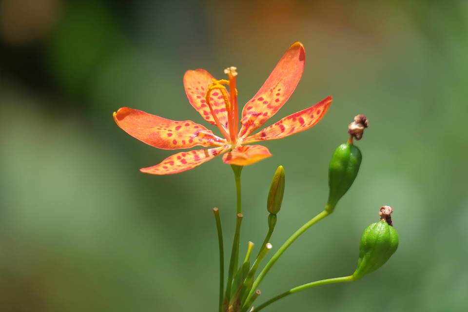 với hình dáng hoa đẹp, cuốn hútcây rẻ quạtđược trồng như một loại cây cảnh ở sân vườn, công viên