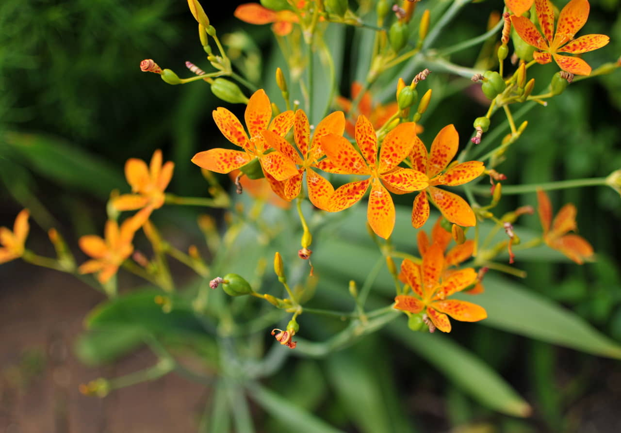Tìm hiểu nguồn gốc và đặc điểm hoa rẻ quạt thần dược đa công dụng