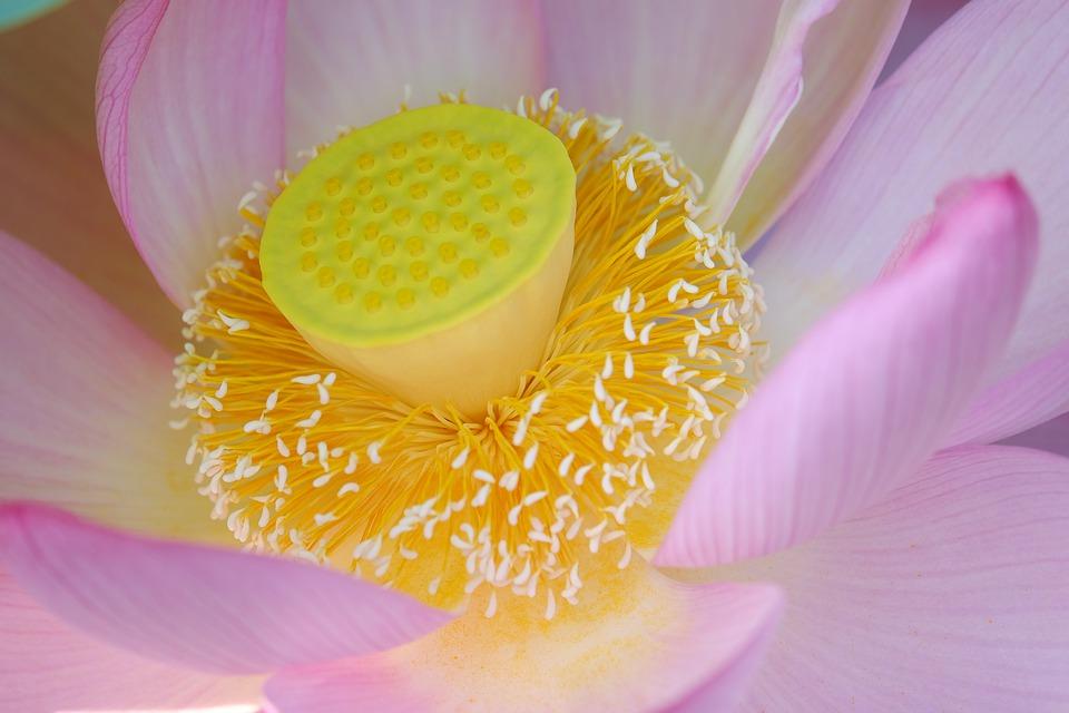 Tìm hiểu nguồn gốc đặc điểm hoa sen