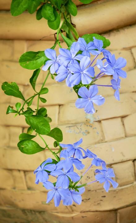 Tìm hiểu nguồn gốc đặc điểm hoa thanh xà Plumbago auriculata