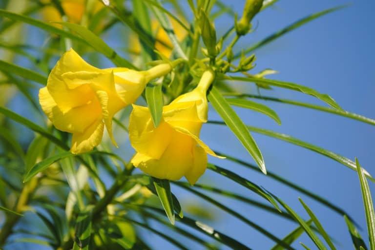 Tìm hiểu nguồn gốc và đặc điểm hoa thông thiên Cascabela thevetia