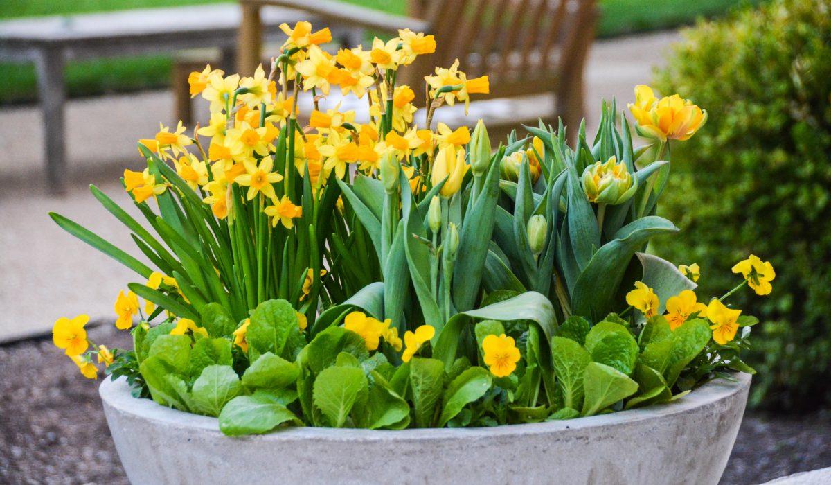 Hoa thủy tiênNarcissus trồng bồn trang trí sân vườn