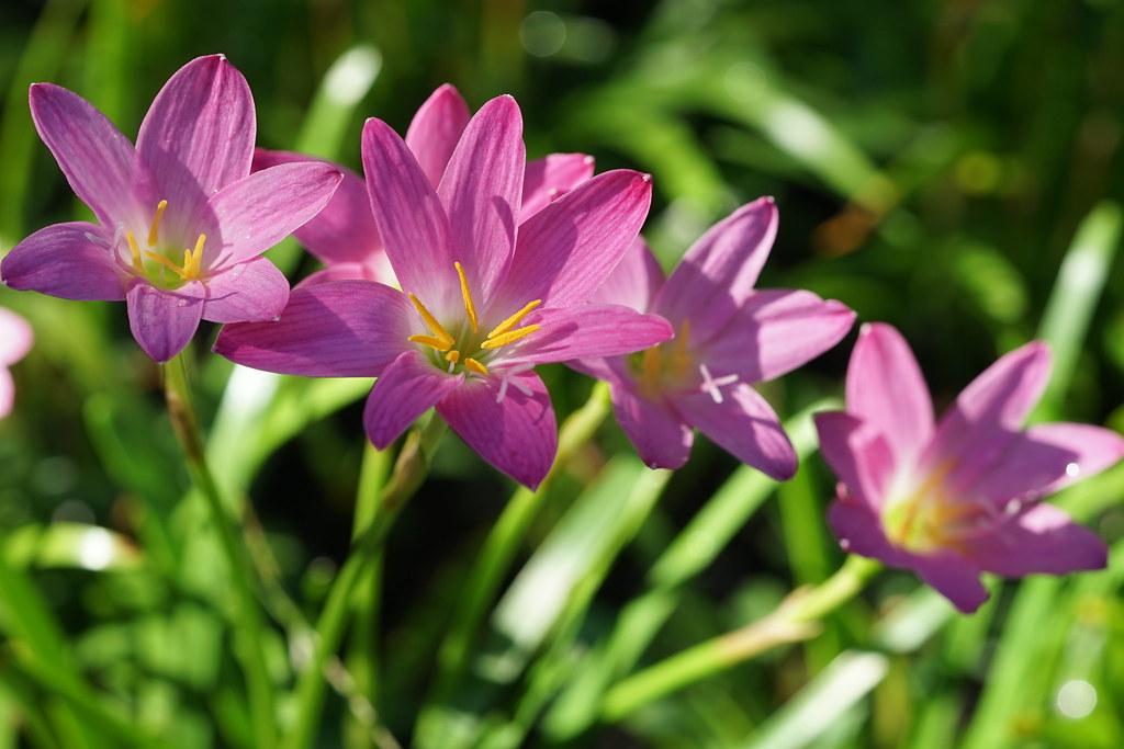 Tìm hiểu nguồn gốc đặc điểm hoa tóc tiên hồng đẹp mê mẩm