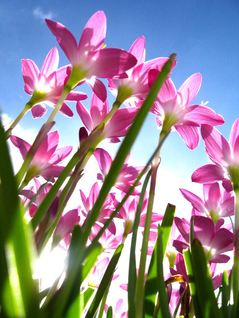 Cây hẹ hồng còn là một bài thuốc trong đông y chữa rụng tóc giảm ho, sốt, lỵ.