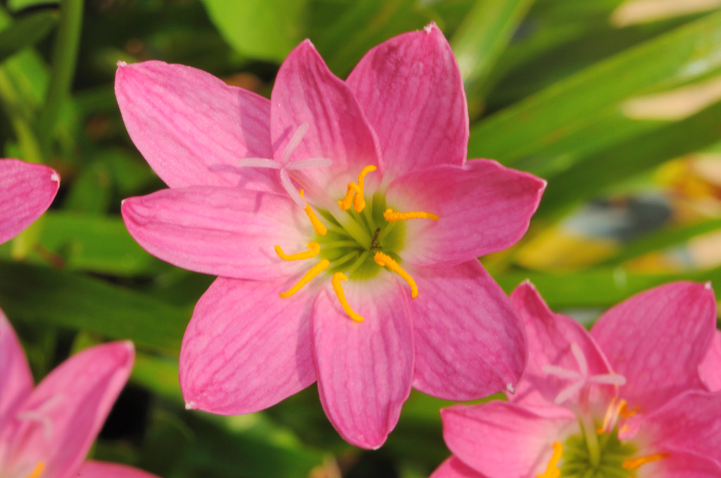 Hoa tóc tiên tên tiếng anh là Rain Lily