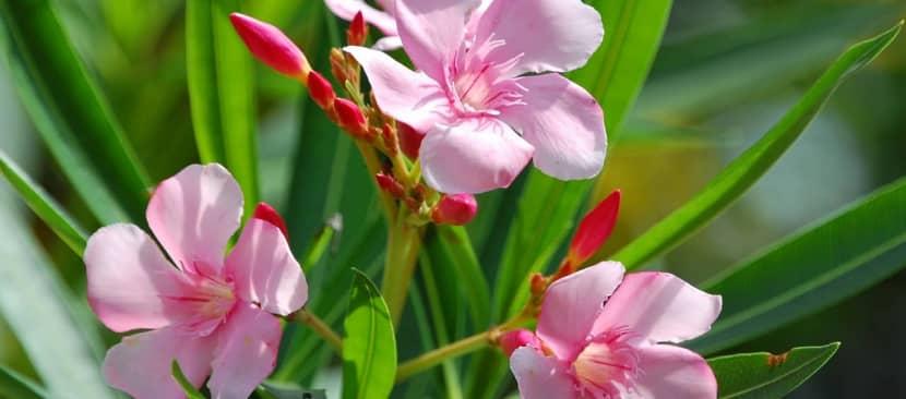 Nguồn gốc đặc điểm hoa trúc đào Nerium oleander bừng nở góc trời