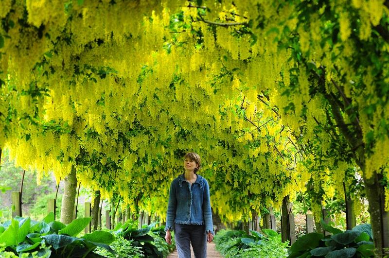 Lan Hoàng dương kết chuỗi vàng rực rỡ buông rủ mềm mại