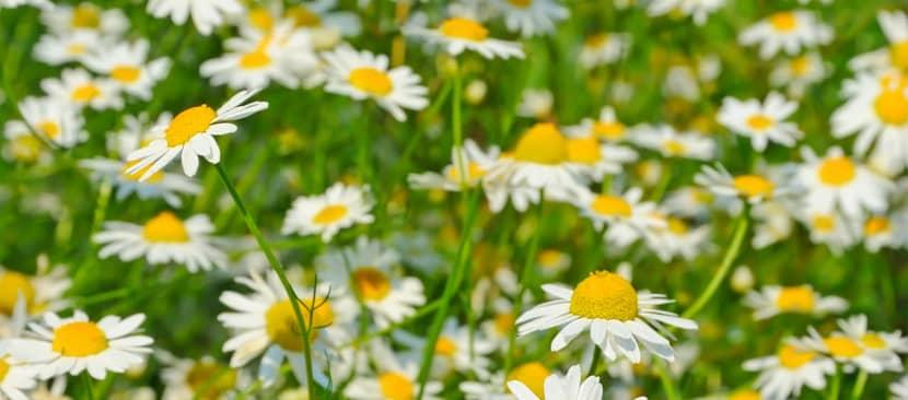 Sự tích hoa cúc họa mi một kết thúc đẹp cho đôi vợ chồng hái thuốc