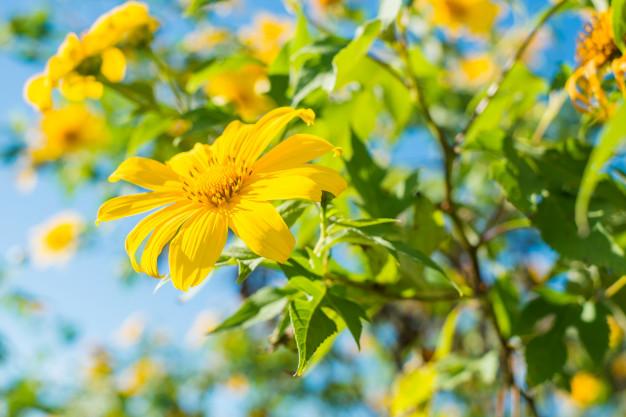 Hoa dã quỳ Tithonia diversifolia hay Mexico sunflower, wild sunflower