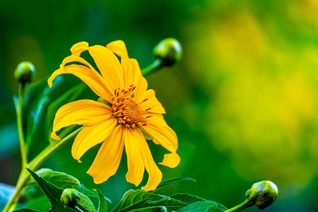Những cánh hoa màu vàng tràn đầy sức sống mãnh liệt, ý chí bất khuất như tình yêu chung thủy của nàng H'limh.