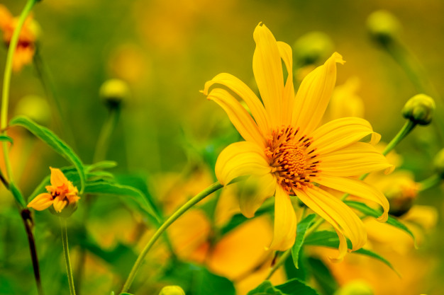 Sự tích hoa dã quỳ chấp nhận hy sinh vì tình yêu chung thủy