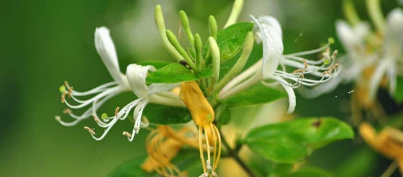 Sự tích hoa kim ngân biến thành thảo dược cứu bệnh đậu mùa