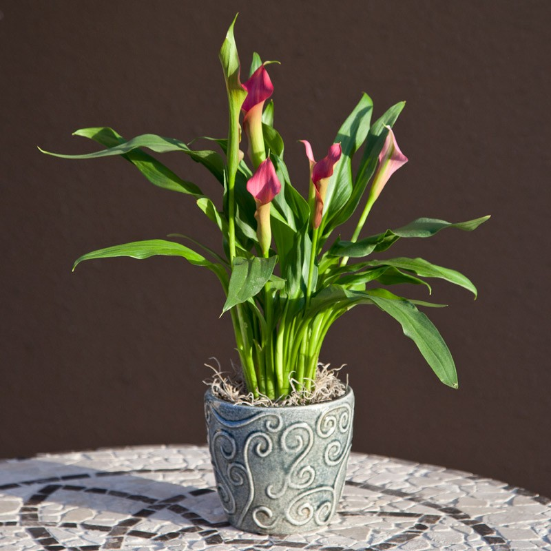 Bí kíp trồng hoa rum bằng củ nhân giống cây
