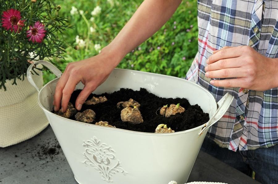 - Bước 4: Tiến hành trồng bằng củ hoa rum